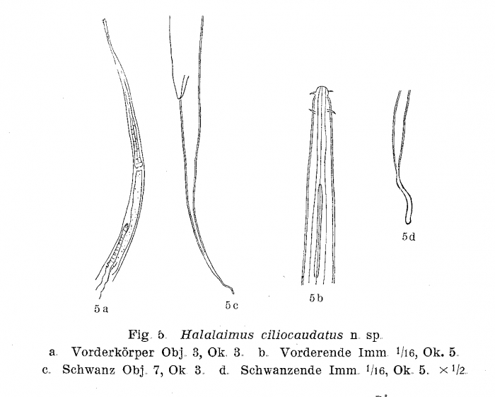 Halalaimus ciliocaudatus Allgén, 1932