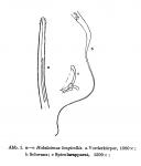 Halalaimus longicollis Allgén, 1932