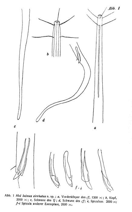 Halalaimus cirrhatus Gerlach, 1953