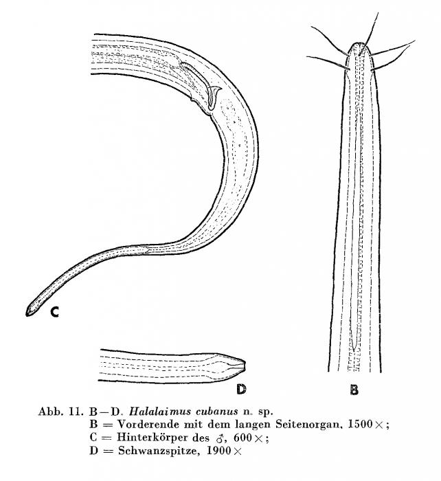 Halalaimus cubanus Andrássy, 1973