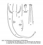 Halalaimus curvicaudatus Juario, 1974