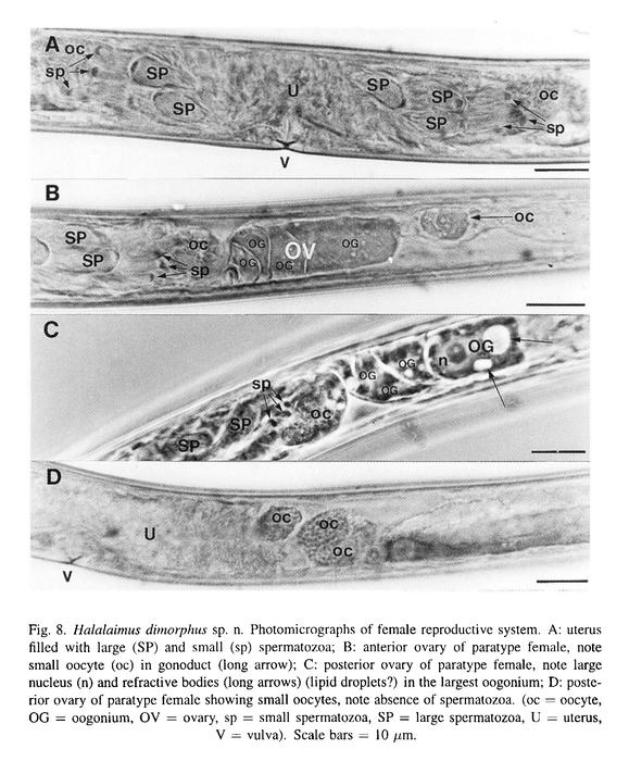Halalaimus dimorphus Turpeenniemi, 1997