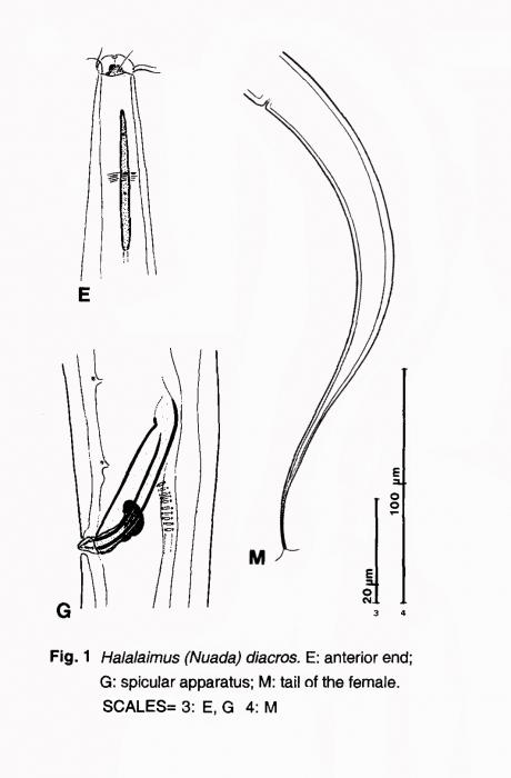 Halalaimus diacros Mawson, 1958
