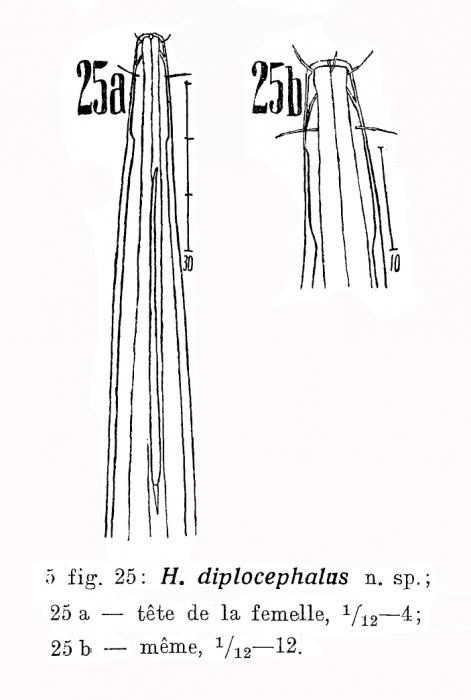 Halalaimus diplocephalus Filipjev, 1927