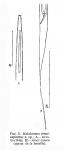 Halalaimus tenuicapitatus Filipjev, 1946