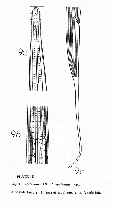 Halalaimus longistriatus Timm, 1961