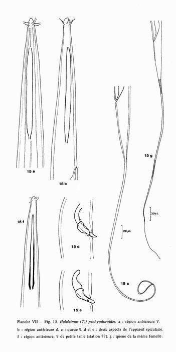 Halalaimus pachyodoroides Vitiello, 1970