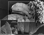 Terebellides ronningae Parapar, Capa, Nygren & Moreira, 2020; original figure: fig. 20A-B