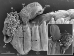Terebellides norvegica Parapar, Capa, Nygren & Moreira, 2020; original figure: fig. 22A-B