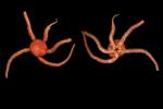 Ophioscolex glacialis