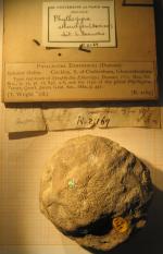 Phyllogyra 1