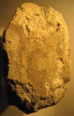 Phyllogyra 13