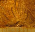Phyllogyra 5