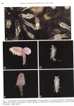 Botryllophilus ruber