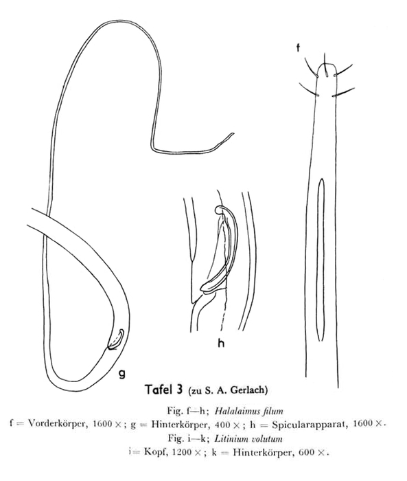 Halalaimus filum Gerlach, 1962