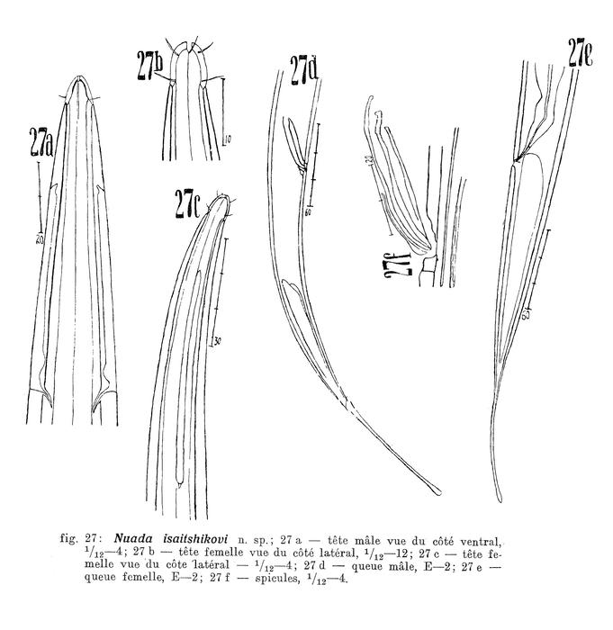 Halalaimus isaitshikovi (Filipjev, 1927) Schuurmans Stekhoven, 1935