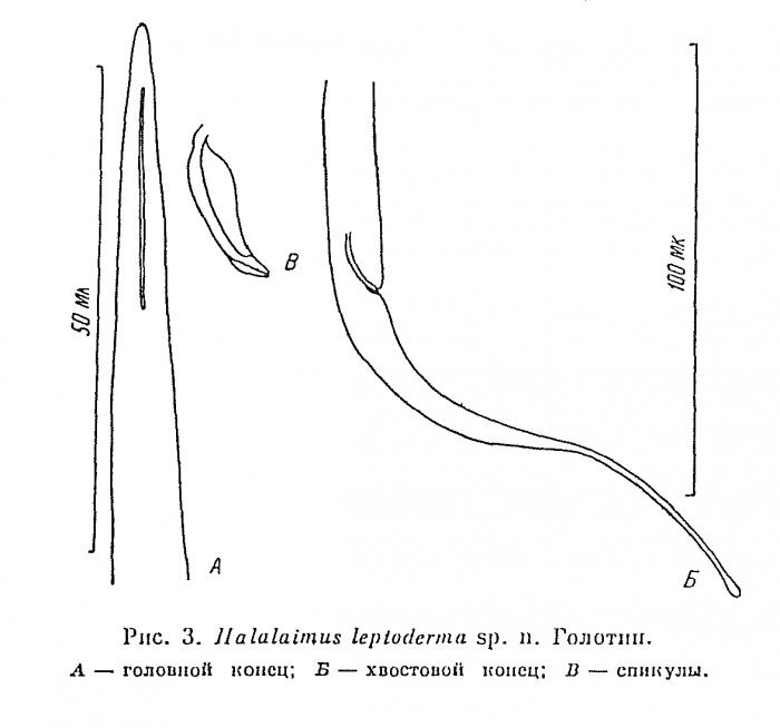 Halalaimus leptoderma Platonova, 1971