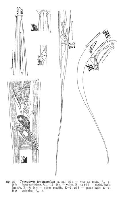 Halalaimus longicaudatus (Filipjev, 1927) Schneider, 1939