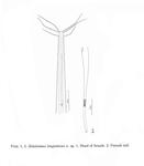 Halalaimus longisetosus Hopper, 1963
