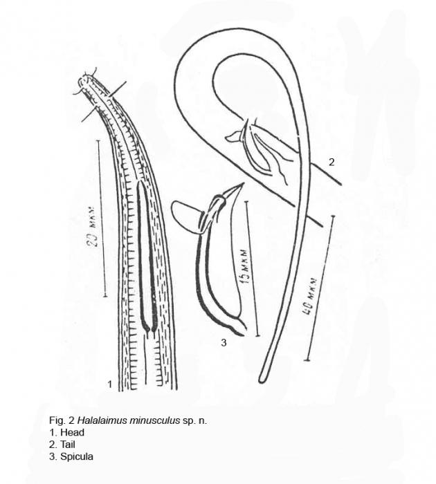 Halalaimus minusculus Tchesunov, 1978