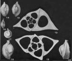 Adelosina bicornis (Walker & Jacob, 1798)