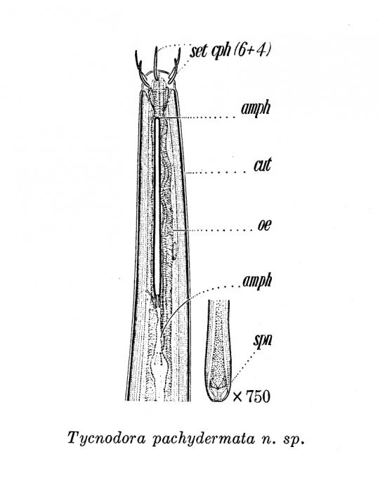 Halalaimus pachydermatus (Cobb, 1920) Schneider, 1939