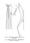 Halalaimus rectispiculatus (Platonova, 1971) Gerlach & Riemann, 1974