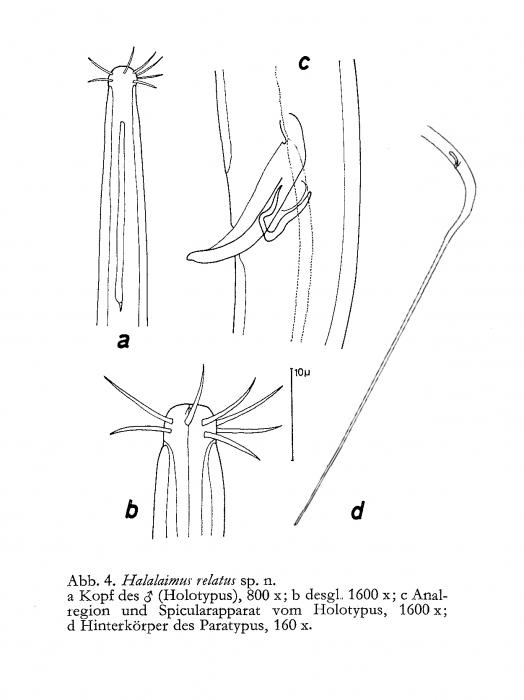 Halalaimus relatus Gerlach, 1967