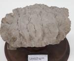 Colpophyllia gyrosa