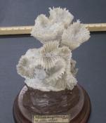 Mussa angulosa
