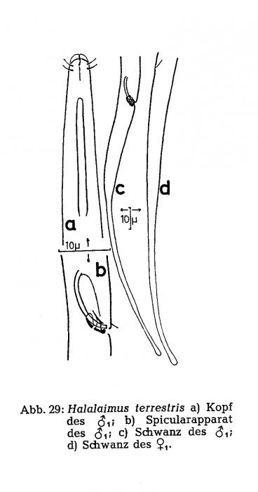 Halalaimus terrestris Gerlach, 1959