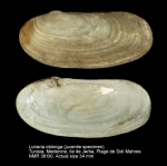 Lutraria oblonga
