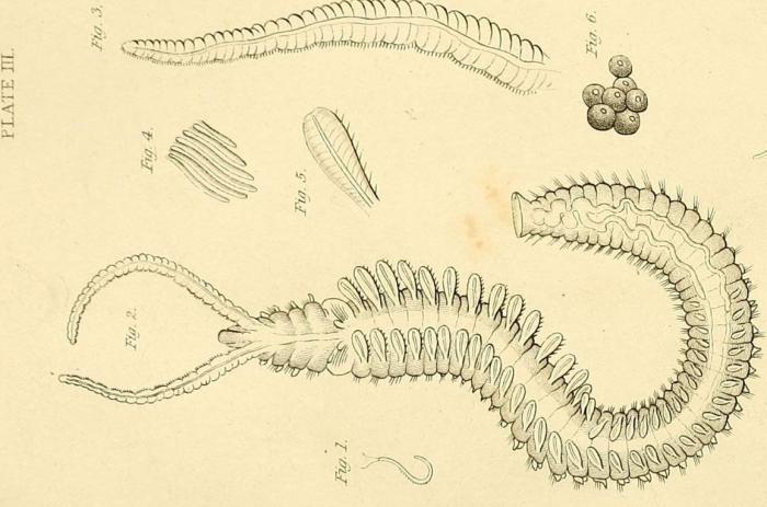Leucodore ciliatus Johnston (original plate)