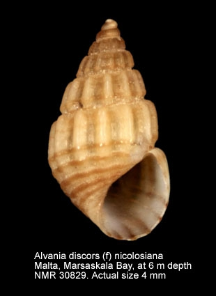 Alvania discors