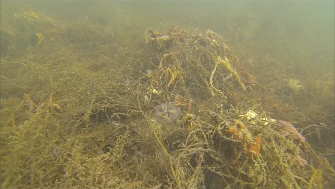 Clinging jellyfish - Gonionemus vertens