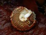 Red Turban Snail, Pomaulax gibberosus (Dillwyn, 1817)
