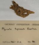 Mycale (Mycale) topsenti type
