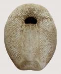 Plagiobrissus (Rhabdobrissus) costae (oral)