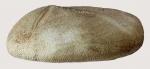 Plagiobrissus (Rhabdobrissus) costae (lateral)