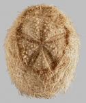Plagiobrissus (Rhabdobrissus) jullieni (aboral)