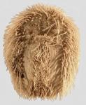 Plagiobrissus (Rhabdobrissus) jullieni (oral)