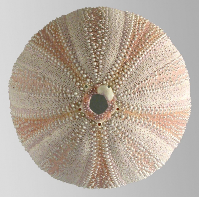 Holopneustes purpurascens (test, aboral)