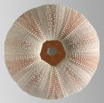 Holopneustes purpurascens (test, oral)