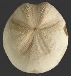 Metalia persica (aboral)