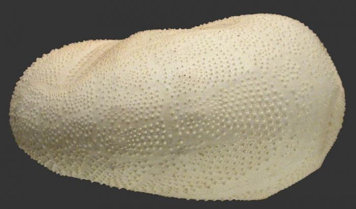 Metalia persica (lateral)