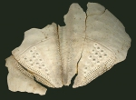 Taimanawa mortenseni (test fragment)