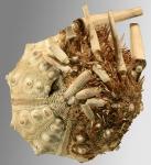 Acanthocidaris hastigera (oral)