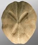 Brissopsis mediterranea (aboral)