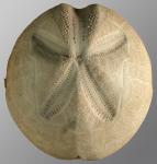 Metalia persica var. elevata (aboral)