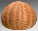 Gracilechinus acutus mediterranea (lateral)